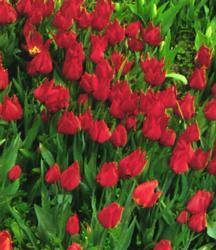 Tulips_tulipa_brilliant_star-1.full