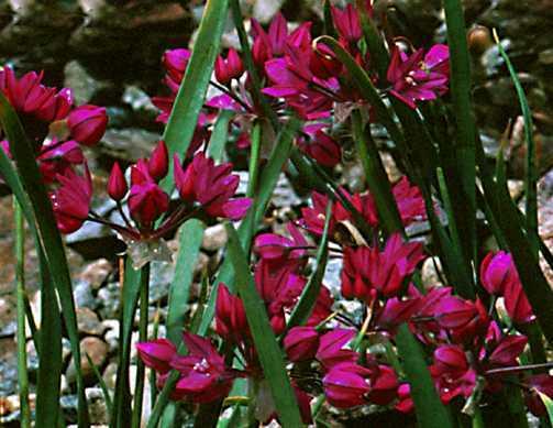 Alliums_allium_oreophilum-1.full