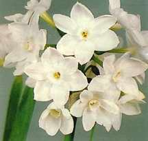 Paperwhites_narcissus_tazetta_galilee-1.full