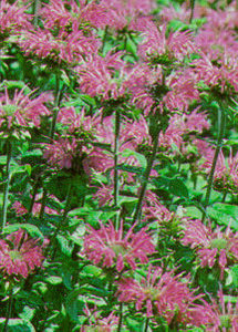 Bee Balm, 'Beauty of Cobham'
