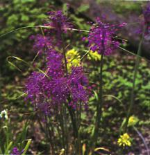 Alliums_allium_carinatum_ssp._pulchellum-1.full