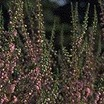 Heaths_and_heathers_calluna_vulgaris_schurigs_sensation-1.thumb