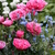 Papaver_pink_heirloom_form.small
