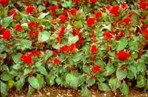 Celosia, Crested Prestige Scarlet