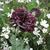 Papaver_black_peony3.small