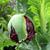 Papaver_black_peony_bud_.small