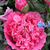Papaver_pink_heirloom_cl.small