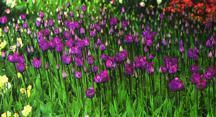 Tulip, Triumph 'Atilla'