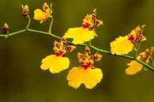 Oncidium Orchid, Gower Ramsey 'Shonan' Mix