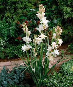 Tuberose, Double White