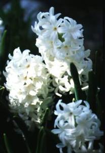 Hyacinth, 'White Pearl'