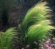 Ornamental_grasses_stipa_tennuifolia-1.large.detail