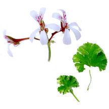 Scented Geranium, Nutmeg Variegated