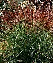 Ornamental_grasses_miscanthus_sinensis_morning_light-1.medium.detail