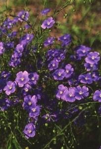 Flax, 'Heavenly Blue'