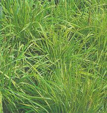 Ornamental_grasses_alopecurus_pratensis_aureovariegatus-1.medium.detail
