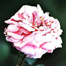 Rose, Antique Early Hybrid Tea 'Aloha' (1949)