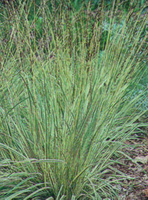 Grass, Moor, Variegated