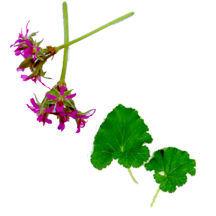 Scented_geraniums_pelargonium_grossularioides-1.full