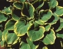 Hostas_hosta_fluctuans_variegata-1.medium.full