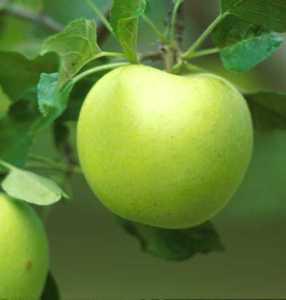 Apple Tree, Compspur 'Yellow Delicious'