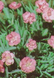 Pink, Cheddar 'Tiny Rubies'