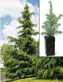 Cedar Tree, Deodara