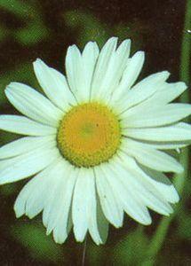 Shasta Daisy, 'Silver Princess'