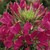 Annuals_cleome_hassleriana_sparkler_tm_rose-1.medium.small