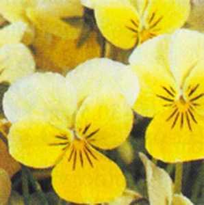 Viola, Sorbet 'Lemon Chiffon'