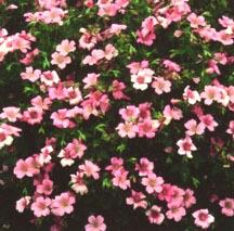 Geranium, 'Wargrave Pink'