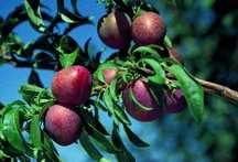 Plum Tree, Ozark Premier semi-dwarf