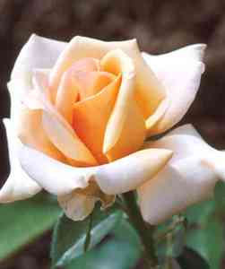 Rose, Hybrid Tea 'Sunset Celebration'
