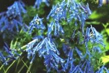 Corydalis, 'China Blue'