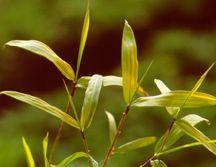 Bamboo, Running
