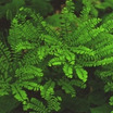 Fern, Maidenhair American