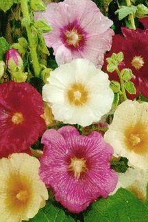 Perennials_alcea_ficifolia_hybrids-1.full