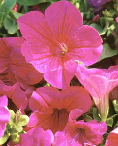 Petunia, Supertunia™ 'Mariposa Rose'