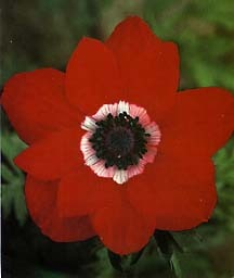Anemone, 'His Excellency'