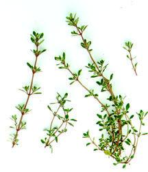 Thyme_thymus_vulgaris_argenteus-1.full