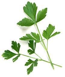 Parsley, Flat-Leaved Italian