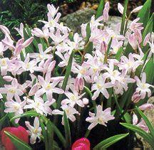 Bulbs_chionodoxa_forbesii_pink_giant-1.full