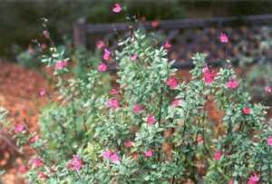 Sage, Autumn 'Rose Pink'