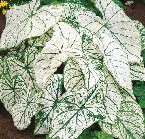 Bulbs_caladium_white_christmas-1.full