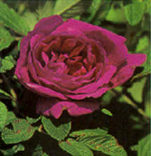 Rose, Antique Rugosa 'Hansa' (1905)