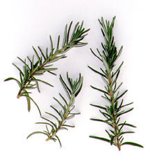 Rosemary, Logee's Blue