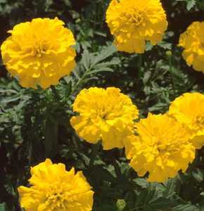 Marigolds_tagetes_patula_bonanza_yellow-1.medium.detail