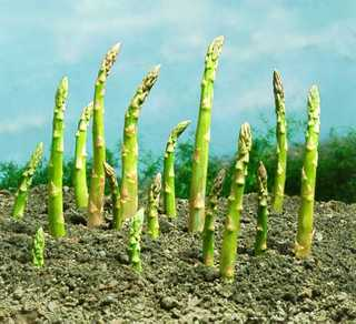Asparagus, SuperMale