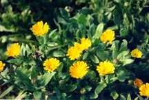 Herbs_calendula_officinalis-1.medium.detail