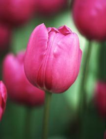Tulip, Triumph 'Boccherini'